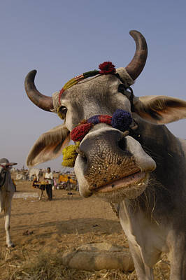 Cow Humorous Photograph - Domestic Cattle India by Pete Oxford