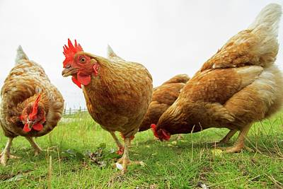 Chicken Photograph - Domestic Chickens Foraging by Simon Booth
