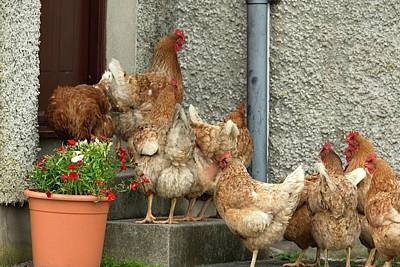 Chicken Photograph - Domestic Chickens On Doorstep by Simon Booth