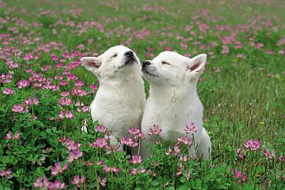Domestic Dog Canis Familiaris Puppies Art Print by Yuzo Nakagawa