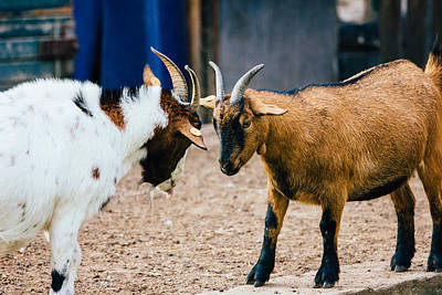 Butting Heads Photograph - Domestic Goat Fight by Pati Photography