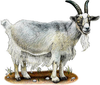 Photograph - Domestic Goat by Roger Hall