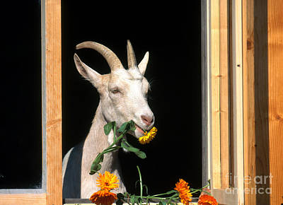 Photograph - Domestic Goat by Susan Danegger