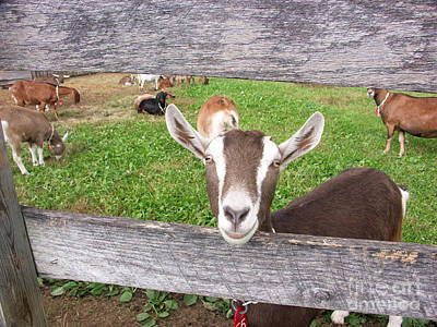 Photograph - Domestic Nubian Dairy Goat by Bonnie Sue Rauch