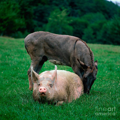 Photograph - Domestic Pig And Donkey by Tierbild Okapia