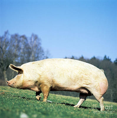Photograph - Domestic Pig Sus Scrofa Domesticus by Tierbild Okapia