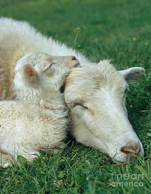 Domestic Sheep Print by Hans Reinhard
