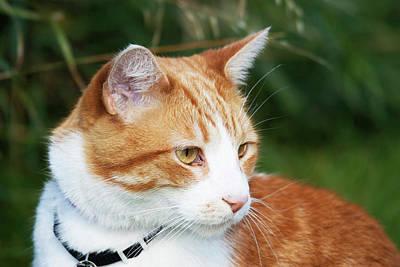 Domestic Shorthair Cat Marmalade Art Print