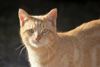 Domestic Shorthair Cat Art Print