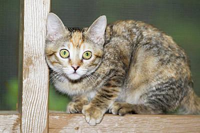 Domestic Shorthair Kitten Art Print