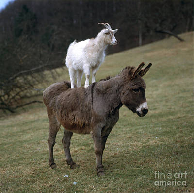Photograph - Donkey And Goat by Hans Reinhard