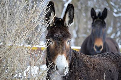 Photograph - Donkey And The Mule by Bonfire Photography