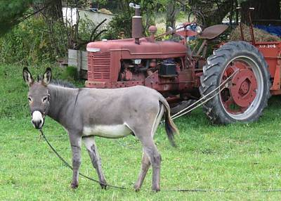 Photograph - Donkey And Tractor by Lucinda VanVleck