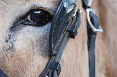 Donkey Eye Art Print
