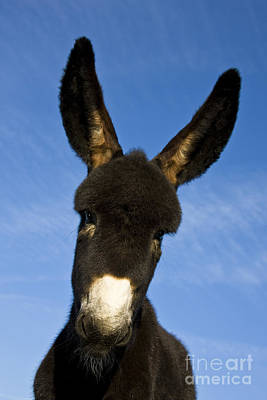 Photograph - Donkey Foal by Jean-Louis Klein and Marie-Luce Hubert
