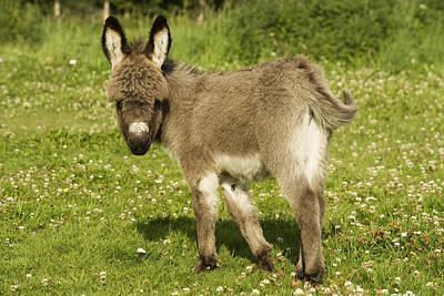 Donkey Foal Photograph - Donkey Foal by Jean-Michel Labat