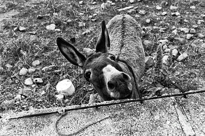 Photograph - Donkey Hello Mono by John Rizzuto