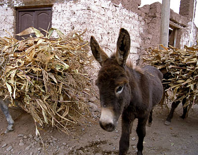 Photograph - Donkey in Maras Peru by Jared Bendis