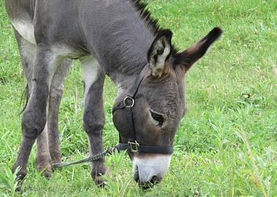 Photograph - Donkey Mare by Lucinda VanVleck