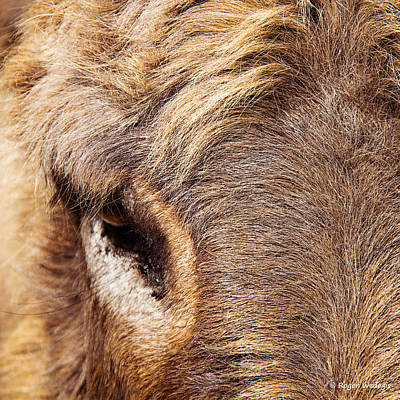 Animal Portrait Photograph - Donkey's Eye by Roger Wedegis