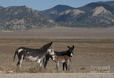 Foal Photograph - Donkeys In The Colorado Rockies by Juli Scalzi