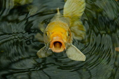 Photograph - Don't Be Koi by Denise Mazzocco