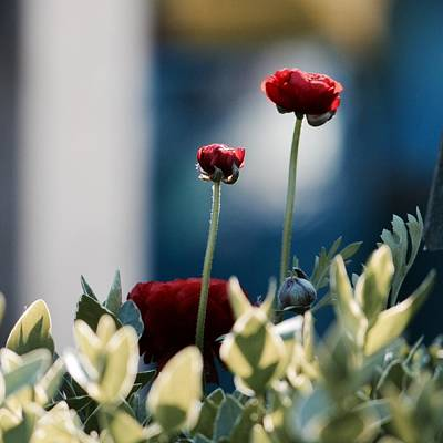 Photograph - Don't Be Ranunculus by Penni D'Aulerio
