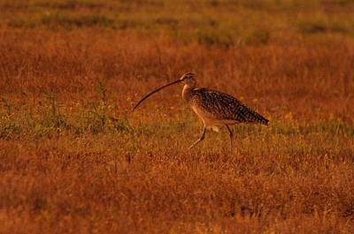 Long-billed Curlew Photograph - Don't Laugh I Have A Beautiful Snout by Jeff Swan