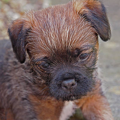 Photograph - Don't Leave Me - Border Terrier Pupppy by Gill Billington