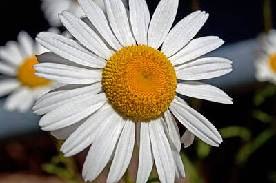 Photograph - Don't Pick The Daisies by Tikvah's Hope