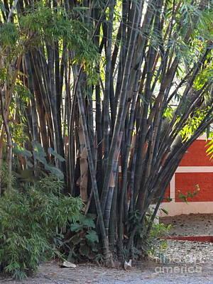 Photograph - Doon School Bamboos 1 by Padamvir Singh
