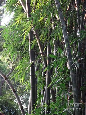 Photograph - Doon School Bamboos 2 by Padamvir Singh