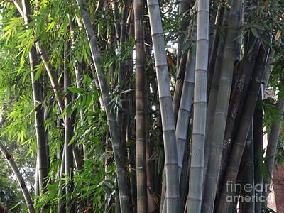 Photograph - Doon School Bamboos 3 by Padamvir Singh