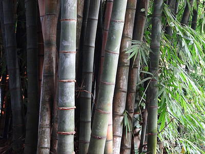 Photograph - Doon School Bamboos 4 by Padamvir Singh