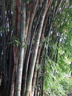 Photograph - Doon School Bamboos 5 by Padamvir Singh