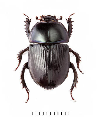 Dor Photograph - Dor Beetle by Natural History Museum, London