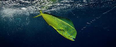 Undersea Photograph - Dorado Coryphaena Hippurus Is Caught by Panoramic Images