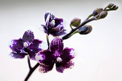 House Plants Photograph - Doritaenopsis Sogo Chabstic Orchid by Maria Mosolova