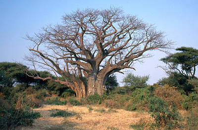 Photograph - Dormant Baobab Tree by Mary Beth Angelo
