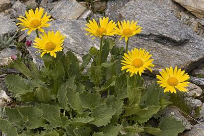 Bane Photograph - Doronicum Grandiflorum by Science Photo Library