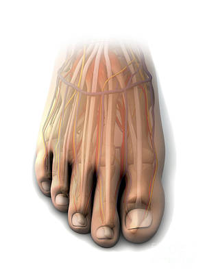 Human Joint Digital Art - Dorsal Anatomy Of The Human Foot by Enid Gottlieb