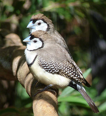 Photograph - Double-barred Finch Togetherness by Margaret Saheed