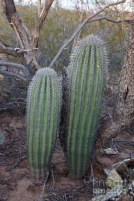 Photograph - Double Barrel Saguaro by Kerri Mortenson