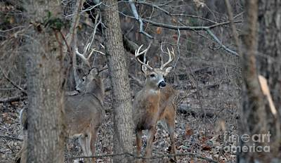 Photograph - Double Bucks by Maureen Cavanaugh Berry