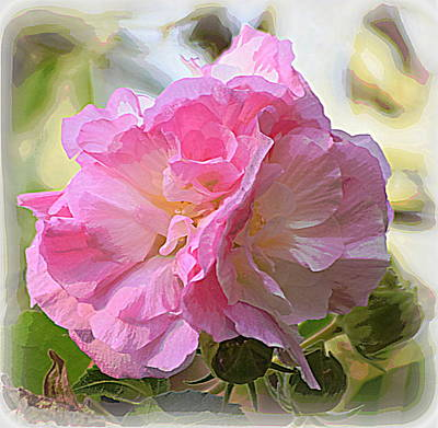 Photograph - Double Confederate Rose by Sheri McLeroy