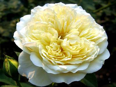 Photograph - Double Cream Rose by Will Borden