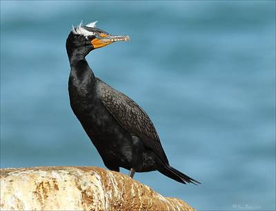 Photograph - Double Crested Cormorant Along Coastline by Daniel Behm