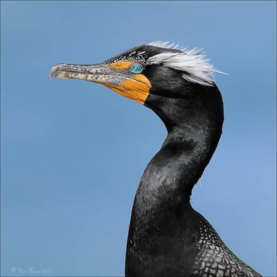 Photograph - Double Crested Cormorant  by Daniel Behm