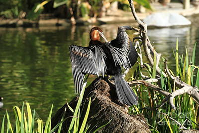 Photograph - Double-crested Cormorant by Edward R Wisell