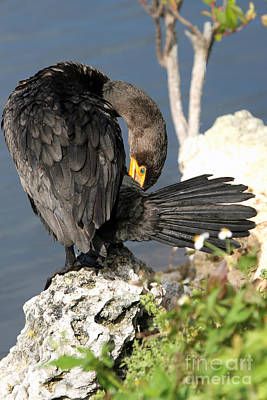 Photograph - Cormorant Preens by Martha Marks